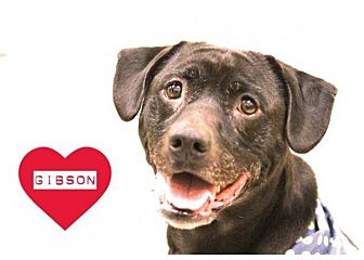 Labrador Retriever Mix Dog for adoption in Grand Rapids, Michigan - Gibson