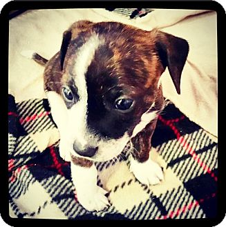 Dachshund/Boston Terrier Mix Puppy for adoption in Grand Bay, Alabama - Lucky