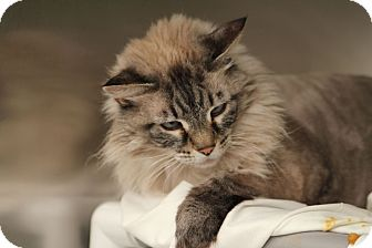 Ragdoll Cat for adoption in Las Vegas, Nevada - Pearl