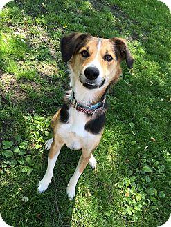 Beagle/Hound (Unknown Type) Mix Dog for adoption in Hanna City, Illinois - Chloe