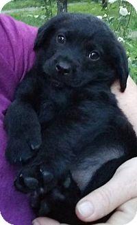 Spaniel (Unknown Type)/Labrador Retriever Mix Puppy for adoption in SOUTHINGTON, Connecticut - Trevor
