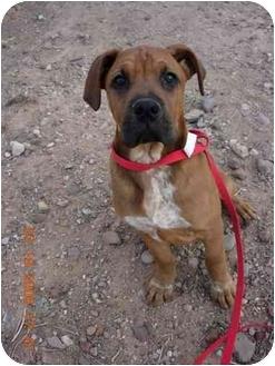 Boxer/Mastiff Mix Puppy for adoption in Thatcher, Arizona - Baxter