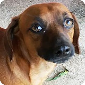 Mixed Breed (Small)/Dachshund Mix Dog for adoption in Houston, Texas - Ronny Runway