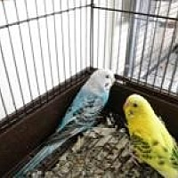 Budgie for adoption in Neenah, Wisconsin - Zoey & Sweetie