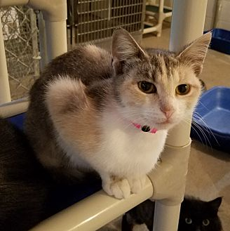 Calico Cat for adoption in Geneseo, Illinois - Candice