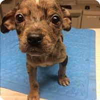 Adopt A Pet :: Bobby - St. Louis, MO