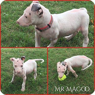 Labrador Retriever/Shepherd (Unknown Type) Mix Puppy for adoption in DeForest, Wisconsin - Mr. Magoo