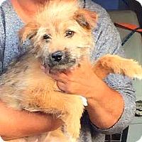 Adopt A Pet :: Emerson-ADOPTION PENDING - Boulder, CO