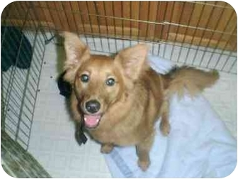 Golden Retriever/Retriever (Unknown Type) Mix Dog for adoption in Spring Valley, California - RED