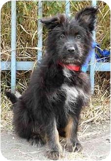 Terrier (Unknown Type, Medium) Mix Puppy for adoption in Los Angeles, California - Gracie von Kern