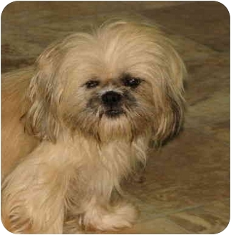Lhasa Apso Mix Dog for adoption in EASLEY, South Carolina - ANNIE