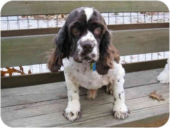 Cocker Spaniel Mix Dog for adoption in Mentor, Ohio - Rudy 4yr Adopted
