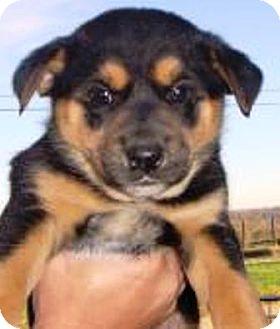German Shepherd Dog/Husky Mix Puppy for adoption in Oswego, Illinois - I'M ADPTD Hits Litr Sally Hahn