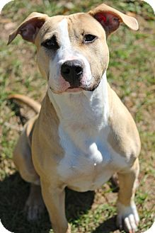 Pit Bull Terrier/Boxer Mix Dog for adoption in Tampa, Florida - Hermie