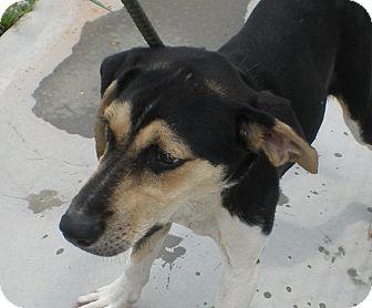 Greyhound/Border Collie Mix Dog for adoption in Sparta, New Jersey - Jasmine