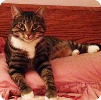 Domestic Shorthair Cat for adoption in Merrifield, Virginia - Princess Annie