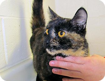 Domestic Shorthair Cat for adoption in North Kingstown, Rhode Island - Rosie