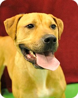 Retriever (Unknown Type)/Boxer Mix Dog for adoption in South Haven, Michigan - Millie