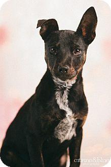 Doberman Pinscher/Australian Cattle Dog Mix Puppy for adoption in Portland, Oregon - Binky