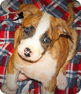 Boxer/German Shepherd Dog Mix Puppy for adoption in Santa Ana, California - Zazu