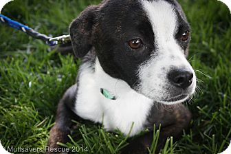 Boston Terrier Mix Puppy for adoption in Broomfield, Colorado - Glory