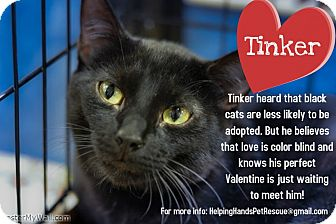 Domestic Shorthair Cat for adoption in Gainesville, Florida - Tinker