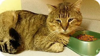 Domestic Shorthair Cat for adoption in Rockford, Illinois - Cayenne
