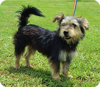 Terrier (Unknown Type, Small)/Australian Terrier Mix Dog for adoption in Westport, Connecticut - *Lipton - PENDING