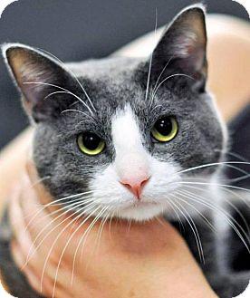 Domestic Shorthair Cat for adoption in Hillside, Illinois - Asher - KITTEN-LIKE