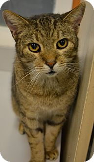 Domestic Shorthair Cat for adoption in Michigan City, Indiana - Tiger