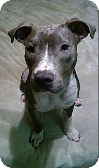 American Staffordshire Terrier/American Bulldog Mix Dog for adoption in Ft. Myers, Florida - Tango