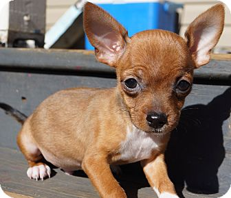 Chihuahua/Mexican Hairless Mix Puppy for adoption in Newark, Delaware - Fireball