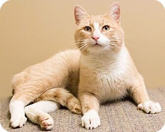 Domestic Shorthair Cat for adoption in Chicago, Illinois - Hero