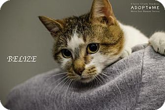 Domestic Shorthair Cat for adoption in Edwardsville, Illinois - Belize