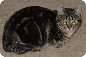 Munchkin Kitten for adoption in Edmonton, Alberta - Candy