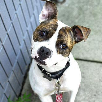 American Staffordshire Terrier/Terrier (Unknown Type, Medium) Mix Dog for adoption in Detroit, Michigan - Bingo - Foster Needed