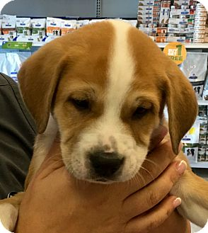 Labrador Retriever/Hound (Unknown Type) Mix Puppy for adoption in West Palm Beach, Florida - Alexi's Puppy