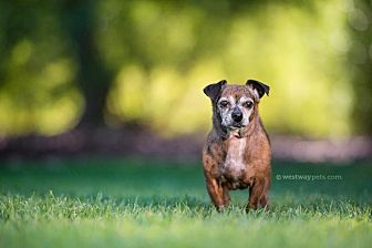 Dachshund Dog for adoption in El Cajon, California - Tulip
