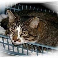 Domestic Shorthair Cat for adoption in Montgomery, Illinois - Chase