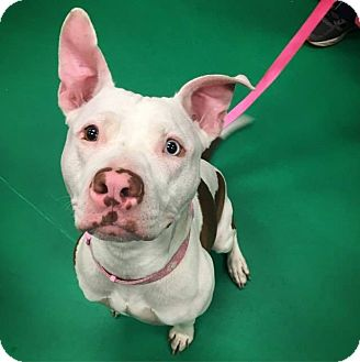 Pit Bull Terrier/American Staffordshire Terrier Mix Dog for adoption in Warrenville, Illinois - Kimmy