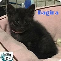 Adopt A Pet :: Bagira - Tiny but Mighty! - Huntsville, ON