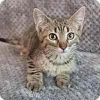Adopt A Pet :: Stewie - Chicago, IL