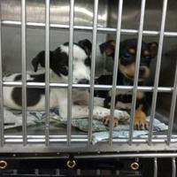 Adopt A Pet :: 35779576 - Los Lunas, NM