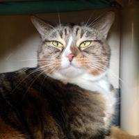 Adopt A Pet :: Kit Kat - Missoula, MT