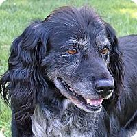 Adopt A Pet :: Scout - Newington, VA
