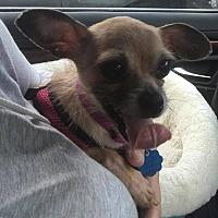 Adopt A Pet :: Queenie - Bucks County, PA