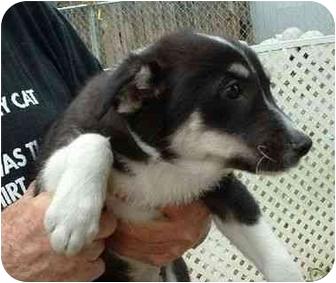 Border Collie Mix Puppy for adoption in Makinen, Minnesota - Issac