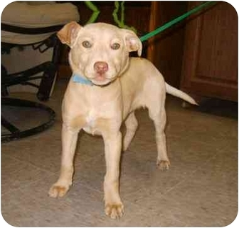 Pit Bull Terrier/Labrador Retriever Mix Puppy for adoption in Austin, Minnesota - Hollie