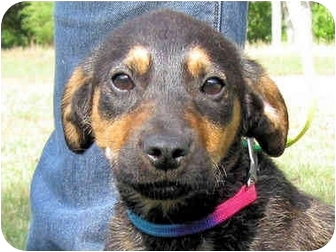 German Shepherd Dog Mix Puppy for adoption in Mahwah, New Jersey - Charlie