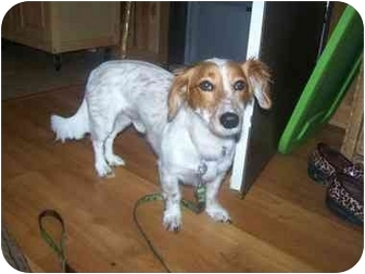 Dachshund Dog for adoption in Parsippany, New Jersey - Benny